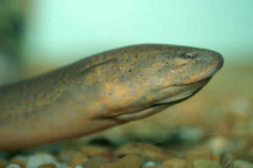 Asian swamp eel swimming