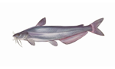 Blue Catfish Illustration