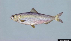 Blueback herring drawing