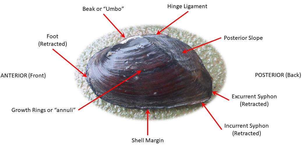 Chart of external anatomy of a typical freshwater mussel