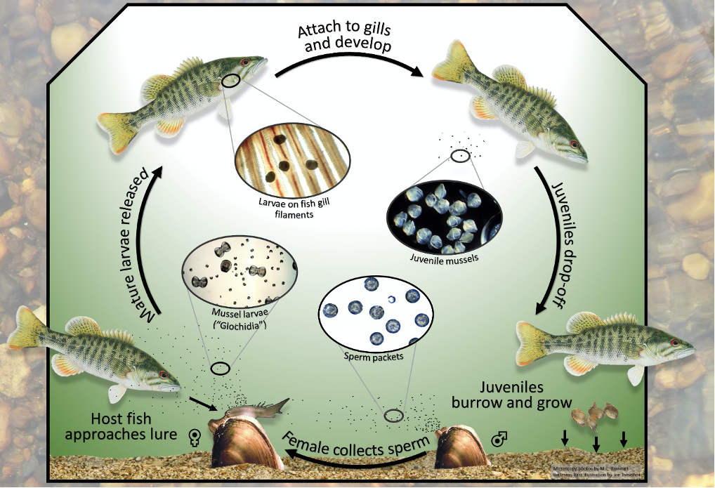 Freshwater mussel cycle graph