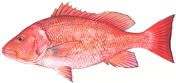 Illustration of Red Snapper
