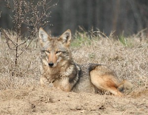 Coyote laying down in grass