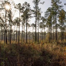 Pine Stand Habitat