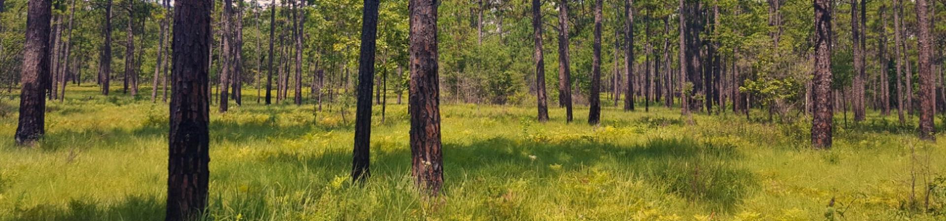 Lake Seminole Longleaf Pines