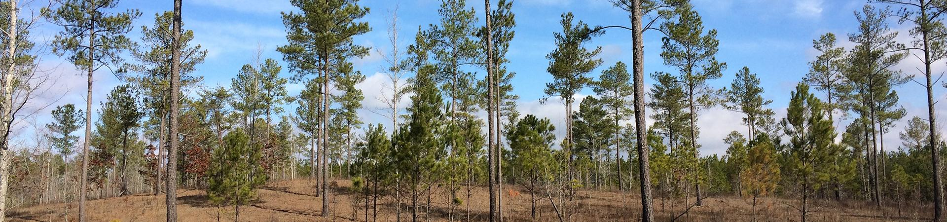 pines at Coosawattee Wildlife Management Area