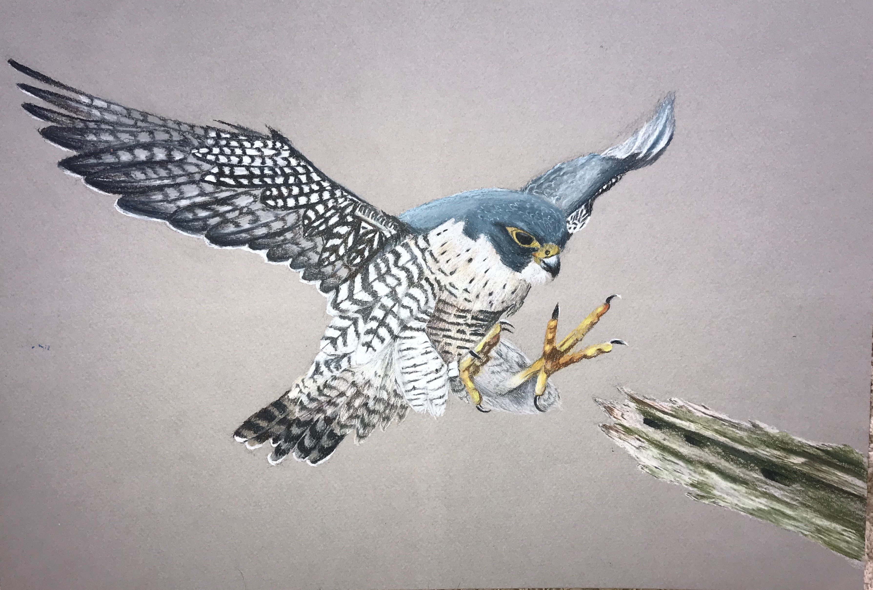 Peregrine Falcon Drawing