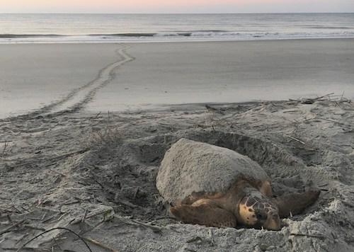 Nesting Sea Turtle