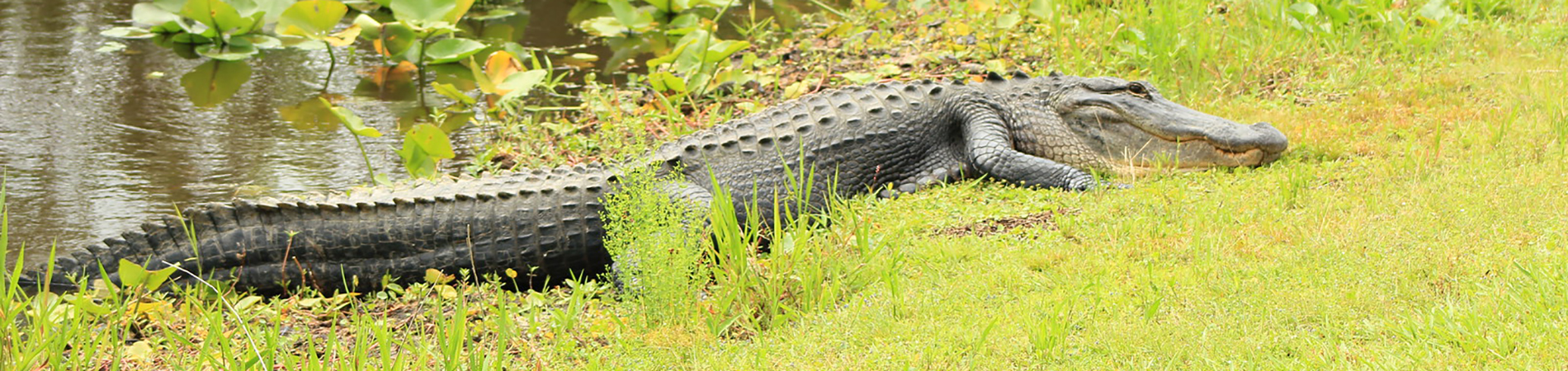 American Alligator on Bank
