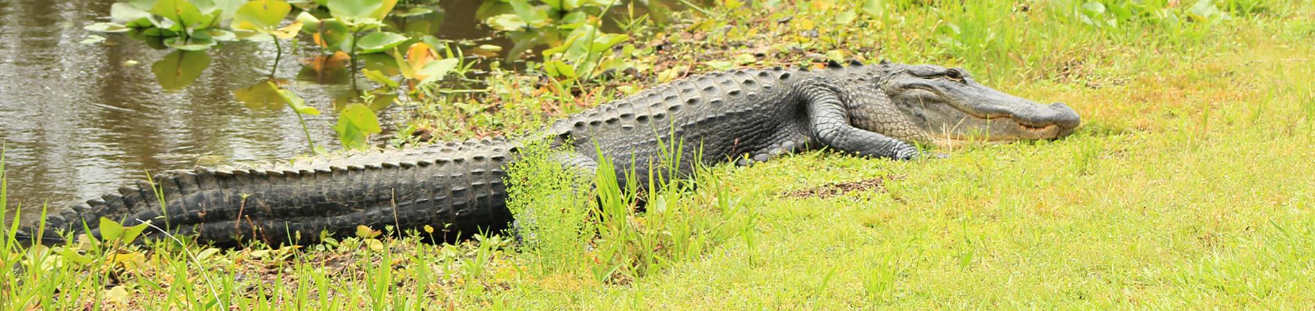 Alligator Information Resources
