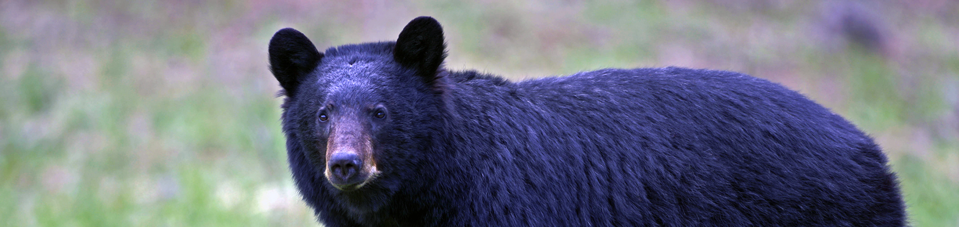 Black Bear Wandering