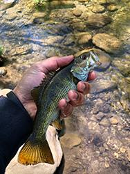 Redeye Bass in Hand