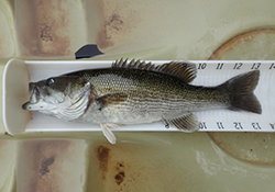 Tallapoosa Bass Measured