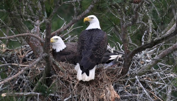 Bald Eagles in Nest