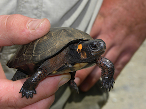 Bog Turtle in Hand