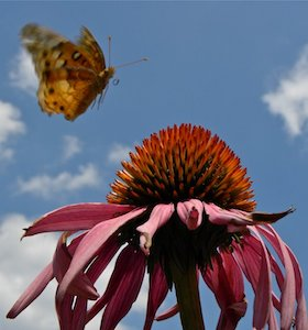 Variegated Fritillary Landing on Purple Coneflower