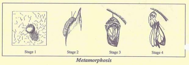 Metamorphosis of a Butterfly
