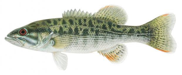 Largemouth Bass Fish Diagram - DIY Enthusiasts Wiring Diagrams •