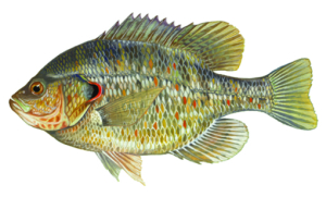 Readear Sunfish