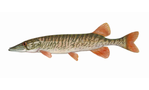 Redfin Pickerel