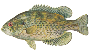 Rock Bass Sunfish