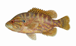 Warmouth Sunfish