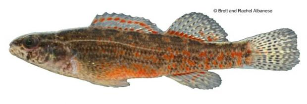 Coldwater Darter