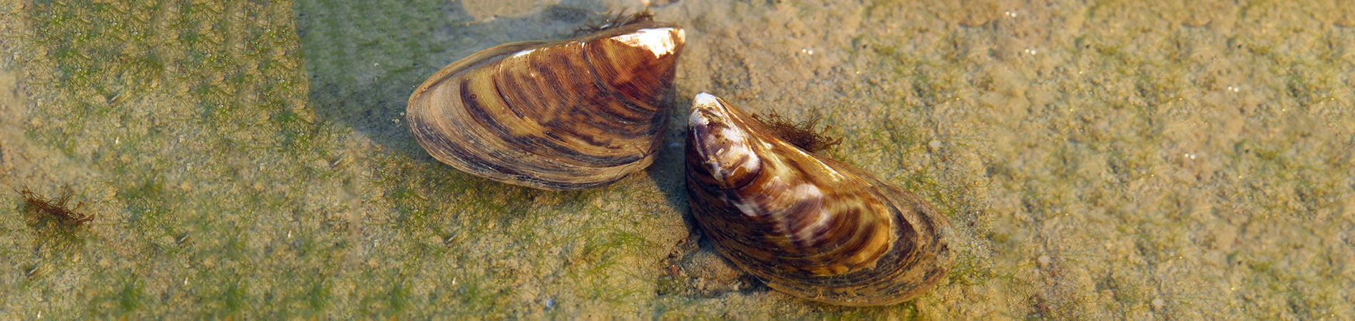 Zebra mussels in water