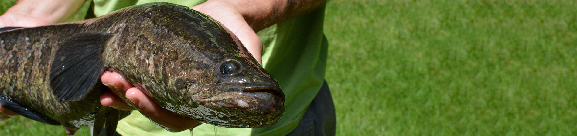 Northern Snakehead held over grass