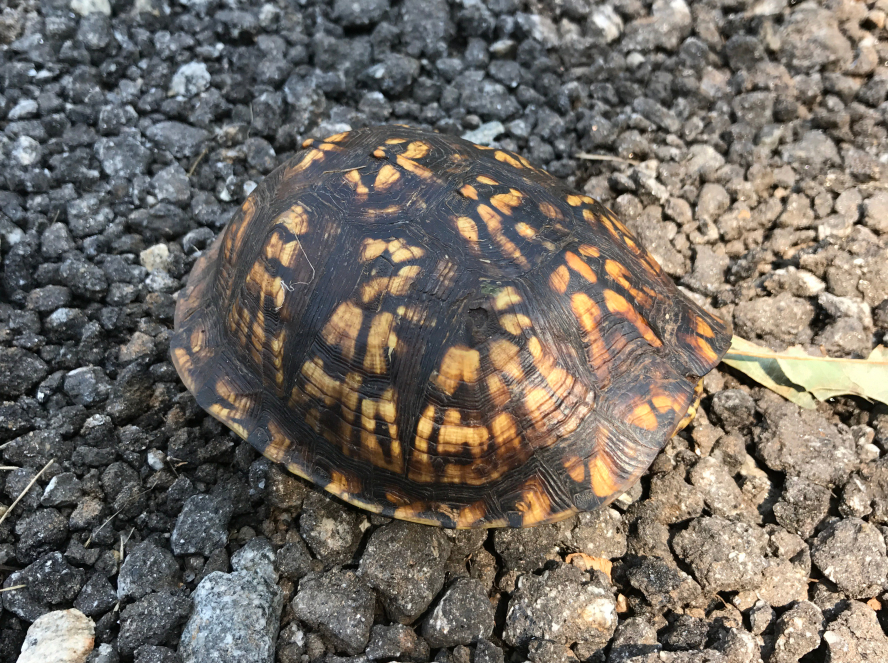 Box Turtle on Gravel