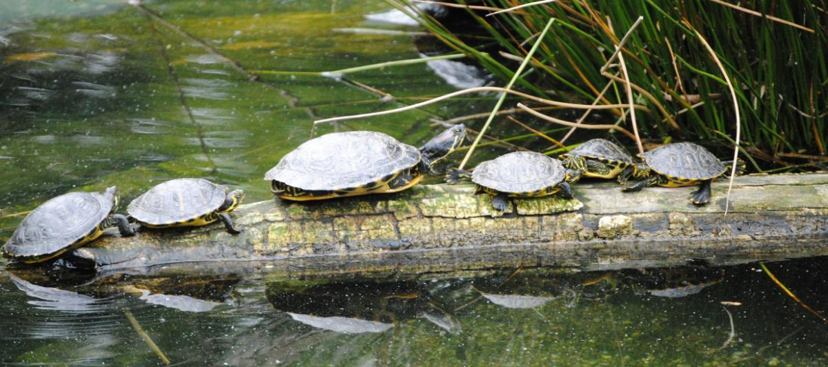 Red-eared Sliders on Log