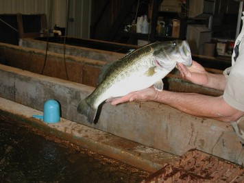 Largemouth Bass in the Holding House