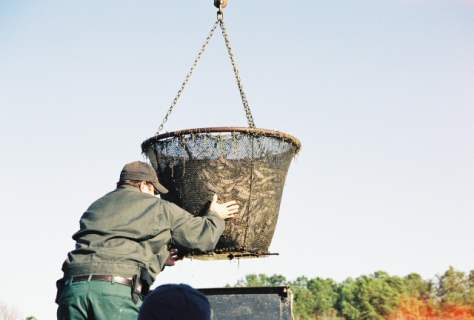 Loading catfish into truck during pond harvest