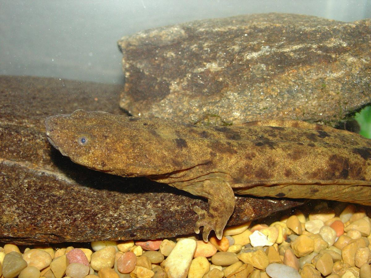 Photograph of a hellbender at streamside.
