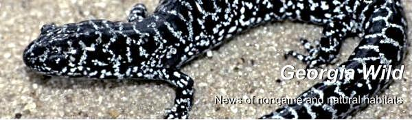 Georgia DNR Wildlife Resources Division e-news masthead; photograph of flatwoods salamander