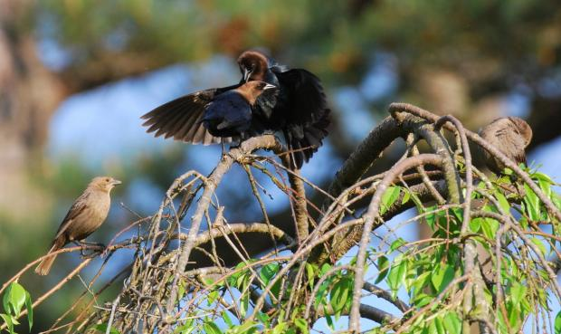 Male brown-headed cowbirds displaying for females (Terry W. Johnson)