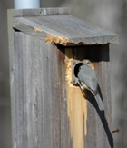 Image: Titmouse checks out nest box.