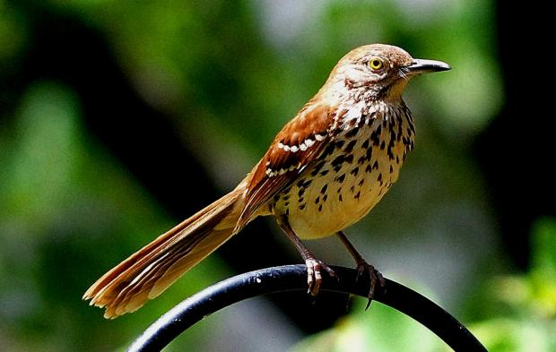 Brown thrasher (Terry W. Johnson)