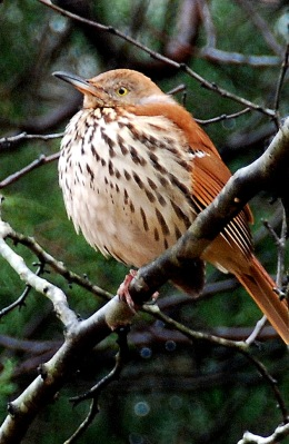 Brown thrasher with feathers fluffed. Terry W. Johnson