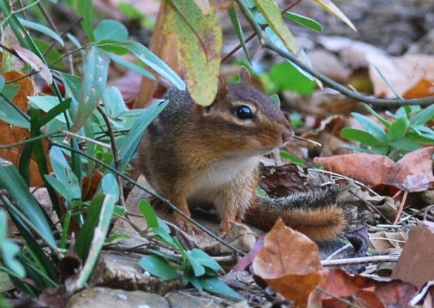out my backdoor chipmunks in winter present a backyard mystery