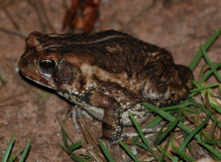 Fowler's Toad (credit: Terry W. Johnson)
