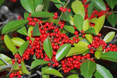 Holly berries in late October. Terry W. Johnson