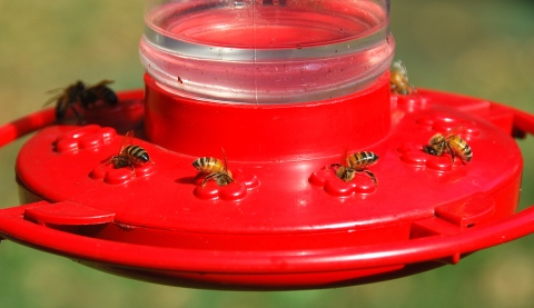 Honeybees at hummingbird feeder. Terry W. Johnson