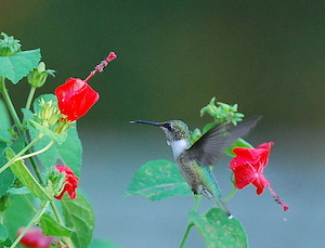 Ruby-throated Male Hummingbird