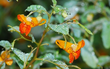 Jewelweed. By Terry W. Johnson