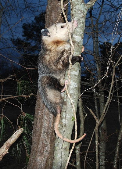 Out My Backdoor: The Amazing Opossum (No Kidding)