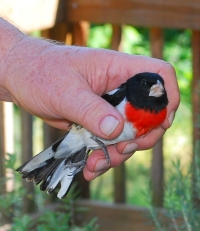 Rescued rose-breasted grosbeak. Donna Johnson