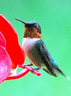 Ruby-throated hummingbird (Terry W. Johnson)
