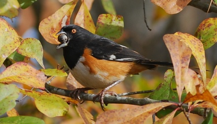 Eastern towhee eating an acorn. (Terry W. Johnson)