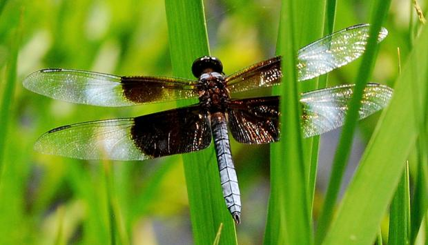 Widow skimmer (Terry W. Johnson)